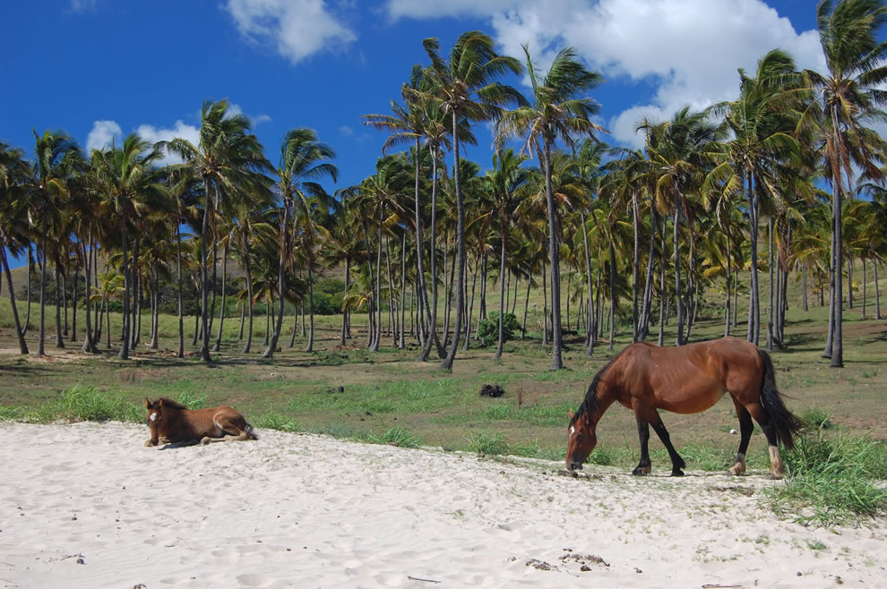 Horses in paradise at Anakena Beach on Easter Island