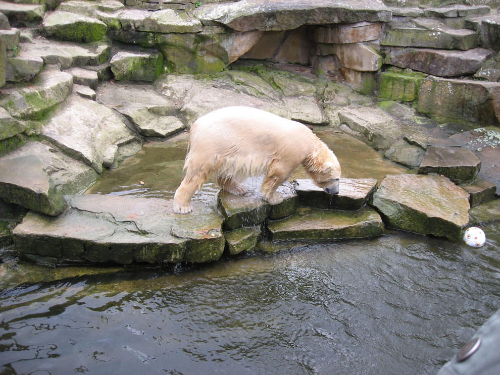 Knut at Berlin Zoo 2008