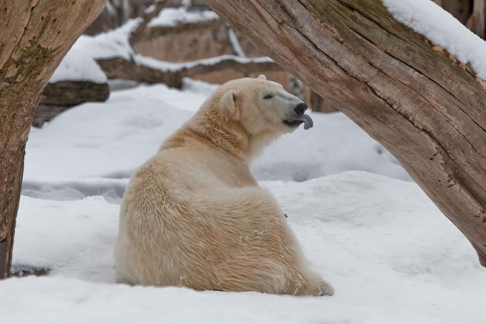 Polar Bear Knut 2010