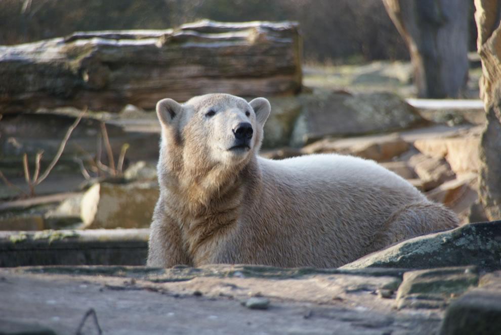 Polar Bear Knut at age 2
