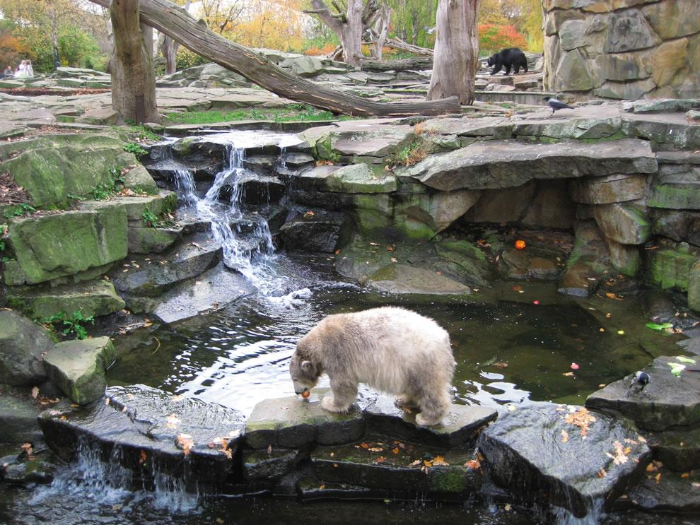 Polar bear Knut, still a cub, at the age of 10 months Berlin Zoo