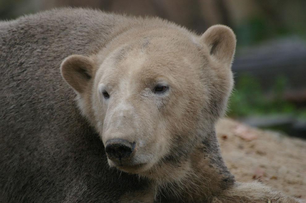 muddy polar bear knut