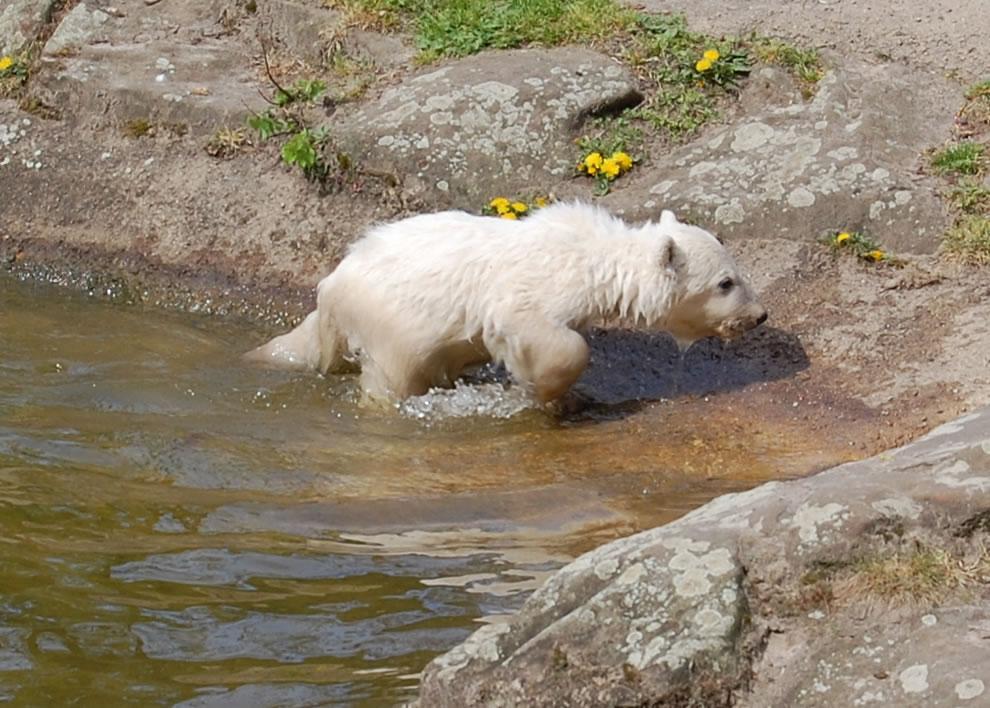 wet Polar Bear Knut