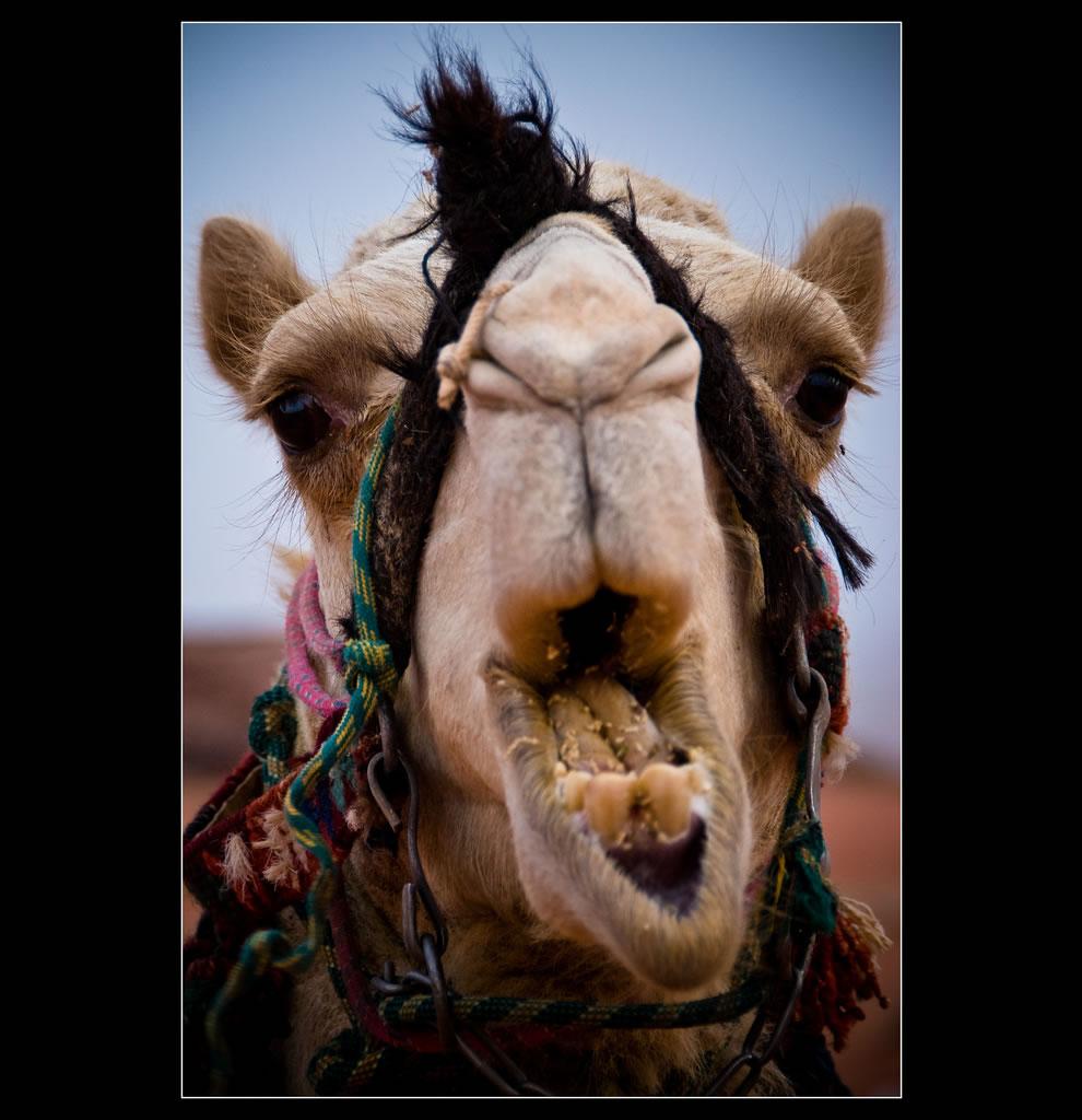 Camel Wadi Rum