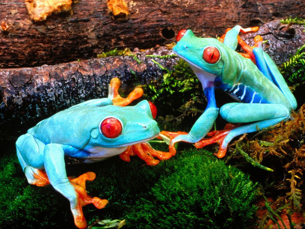 Red Eyed Treefrogs
