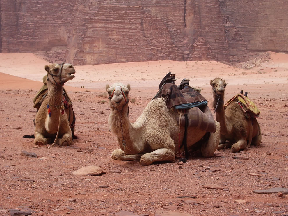 The camels on the first day when riding through Wadi Rum, including angry camel and slow camel