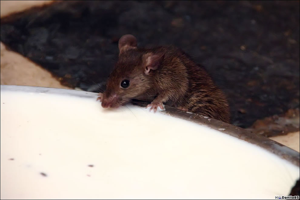 rat drinking milk