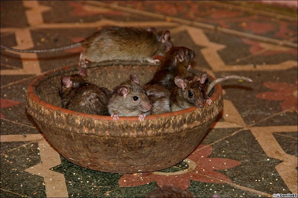 rat temple - rats rats rats