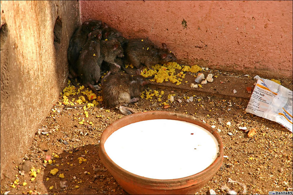 rats sleeping and eat - rough life at Karni Mata