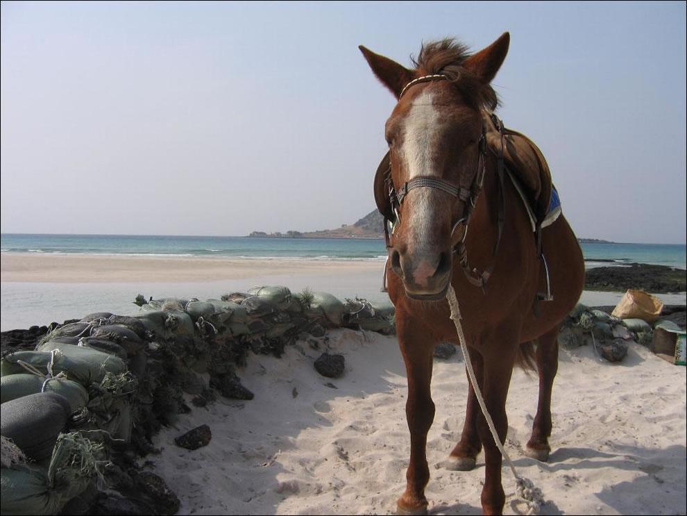 Korea Jejudo Pony