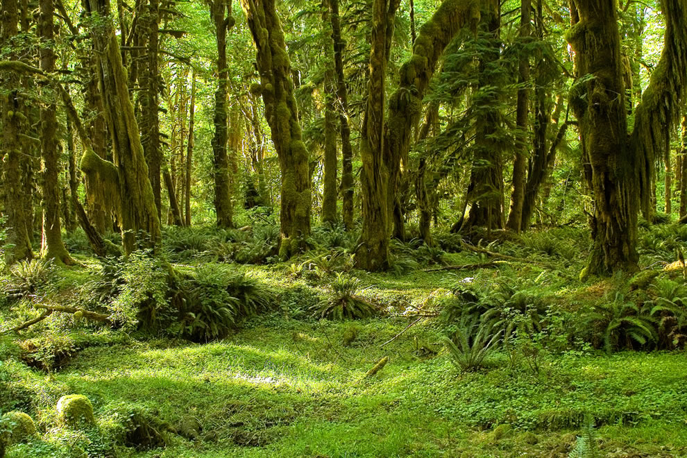 Olympic National Park - Maple Glade Trail