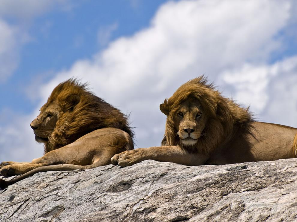 2 male lions Serengeti National Park, Tanzania