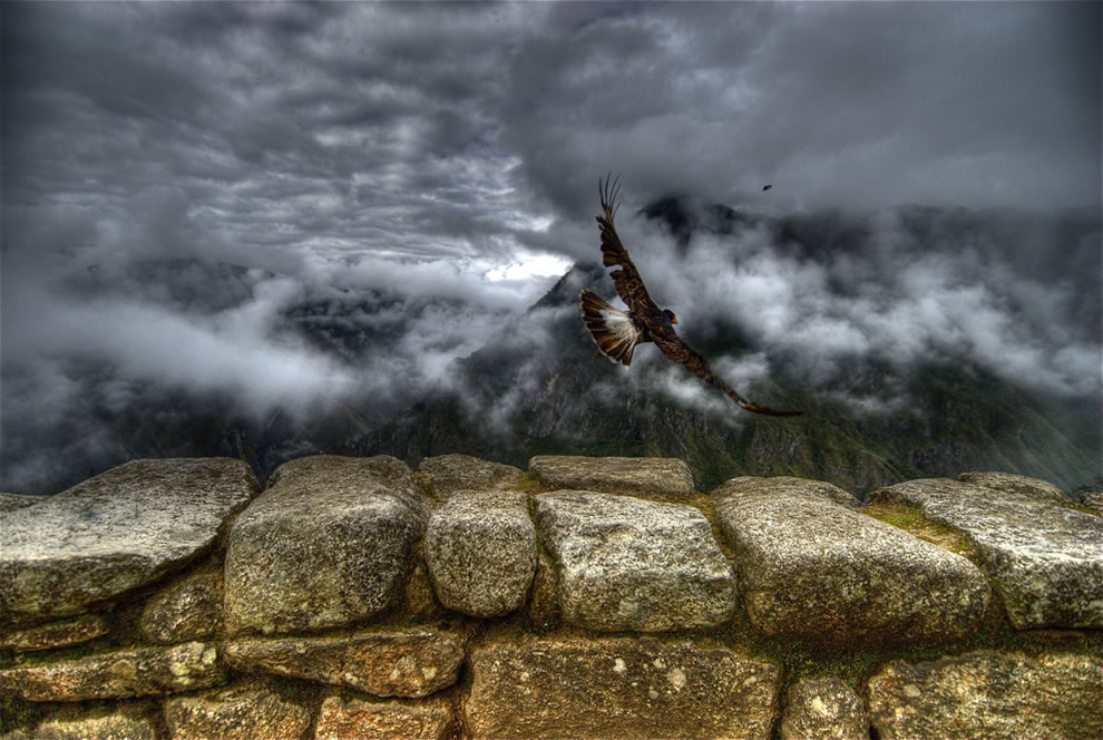 A Mountain Caracara taking off at Machu Picchu, Peru