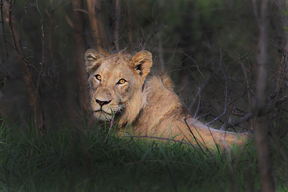 Africa Safari - lion