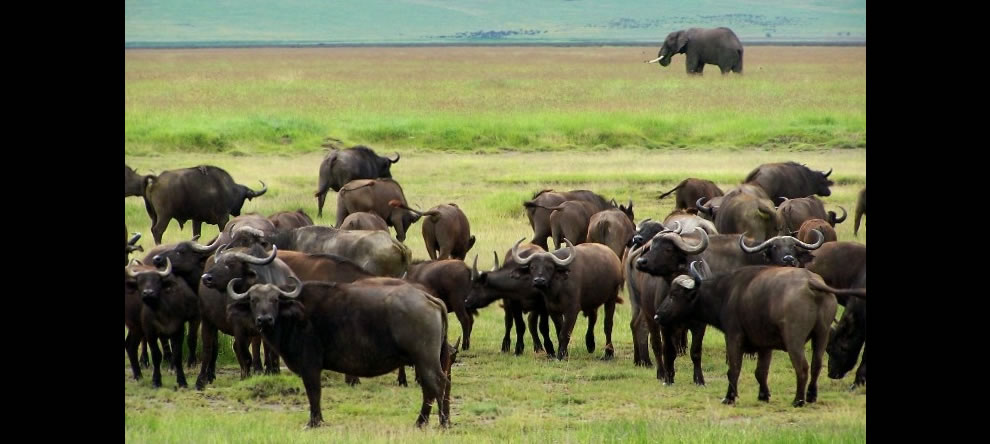 Buffalo and Elephant - Ngorongoro Crater