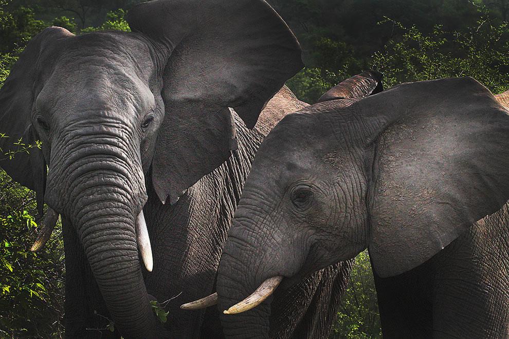 Elephants Africa Safari