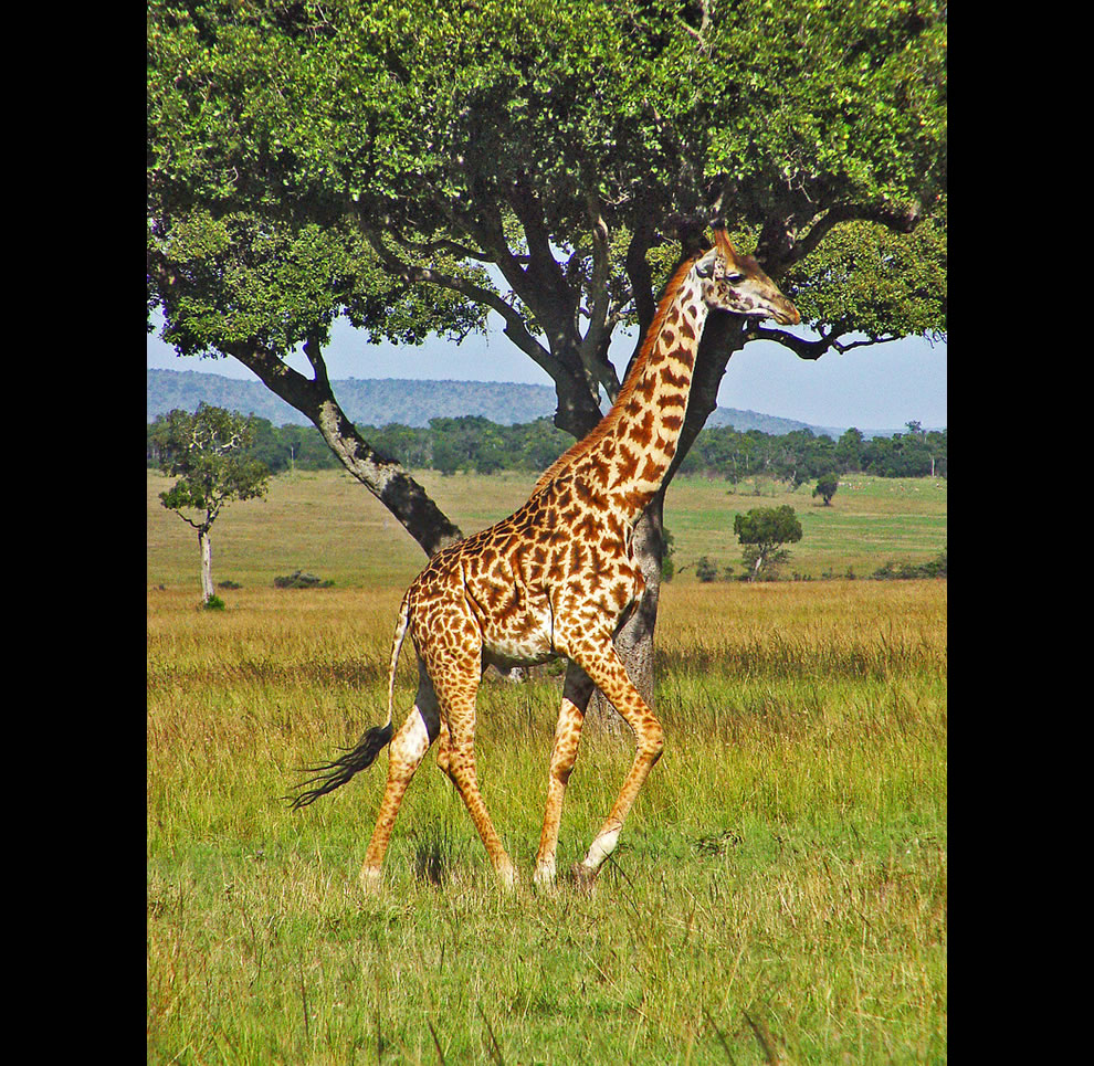 Giraffe running in the plains of the Masai Mara