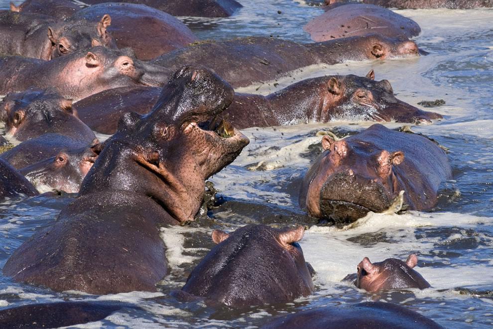 Hippos Safari in Tanzania