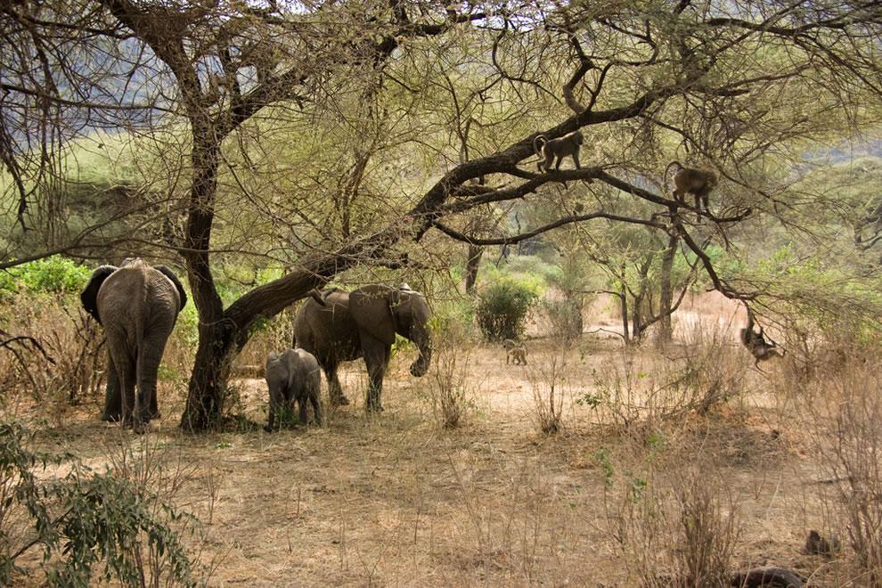 Lake Manyara - Elephants and Baboons