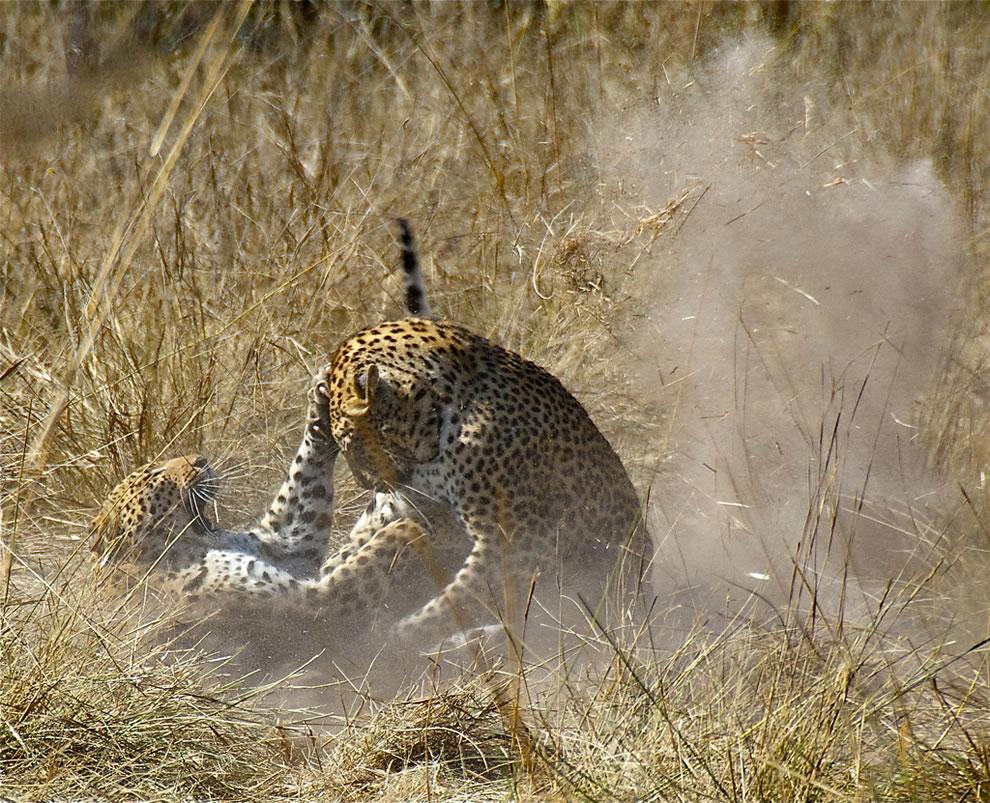 Leopard Mating Dance