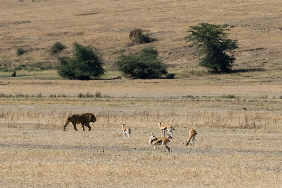 Lion and Thomson's Gazelles