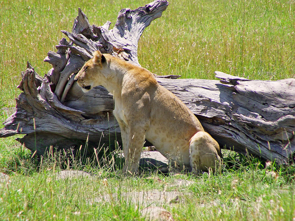 Lioness sitting next to a dead tree, Masai Mara, Kenya