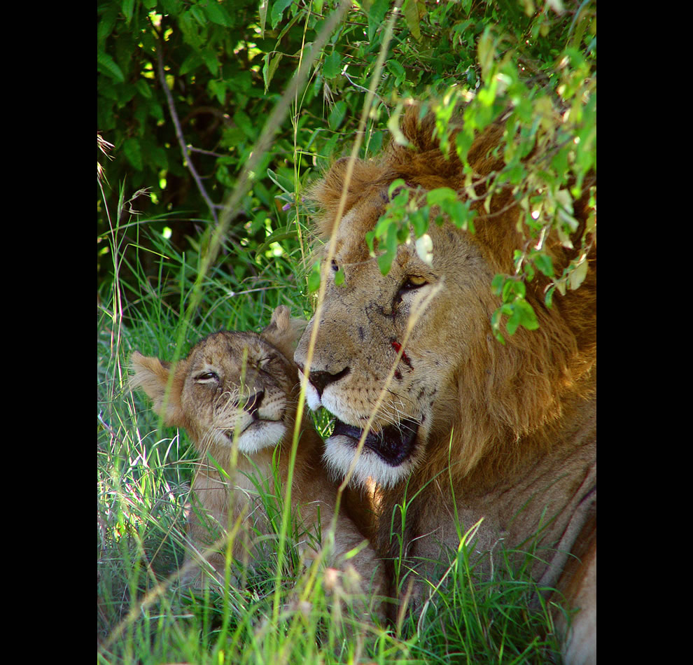 Male lion with his son, having a cuddly moment in the Masai Mara, Kenya
