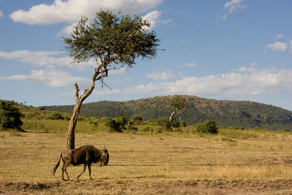Masai Mara - The lonely Wildebeest