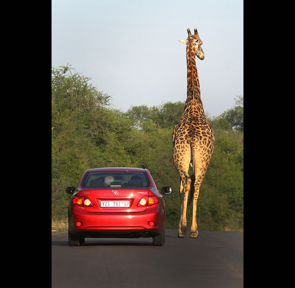 Sometimes traffic gets a bit congested when you are on safari