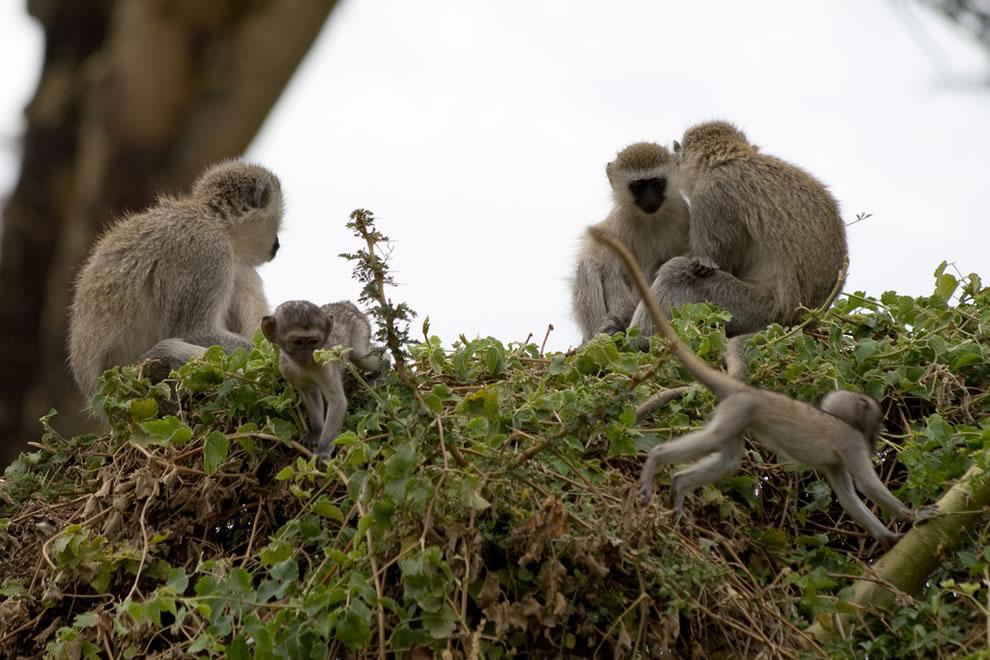 Vervet Monkeys Africa