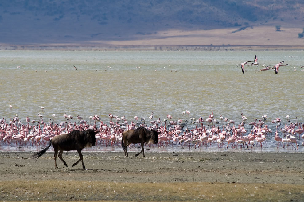 Wildebeests and flamingos