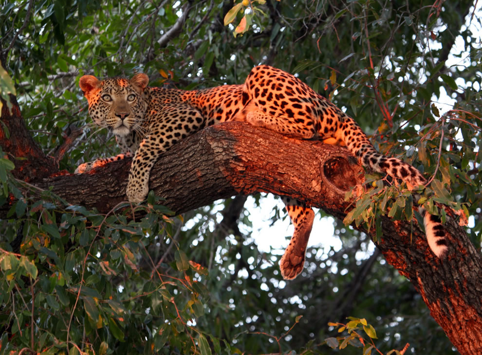 Young male leopard in the jackal berry tree, as he was lit by setting sun