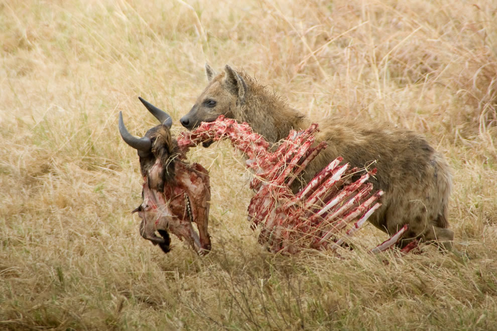 eww Hyena scavenger on safari