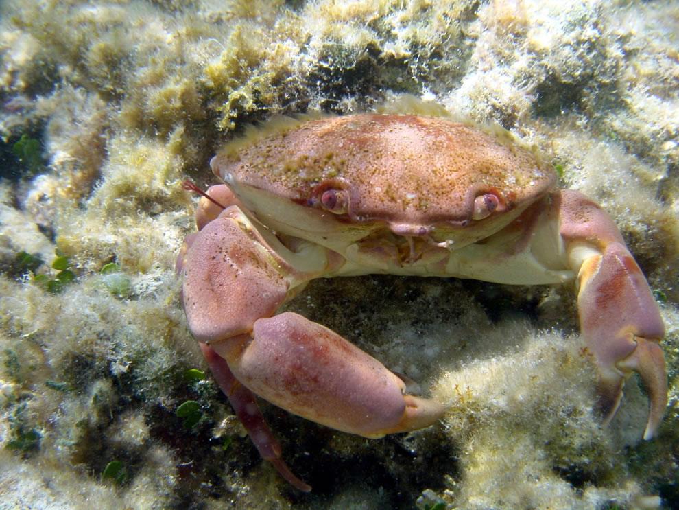 Galapagos Islands Crab taken for Marine Debris Photo