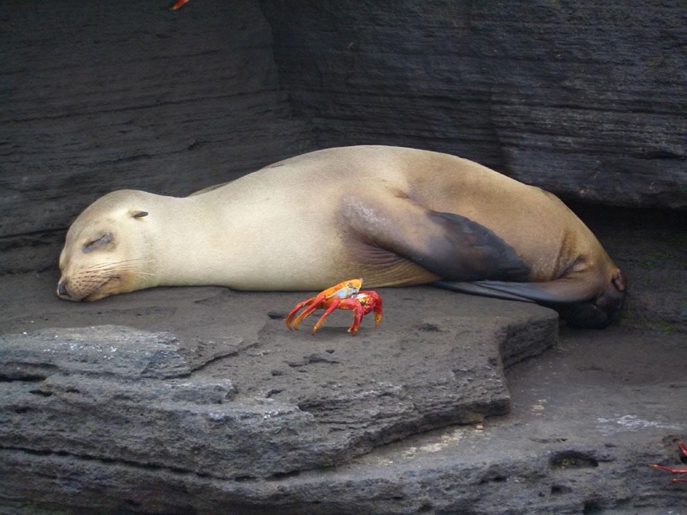 Galapagos napping seal and crab