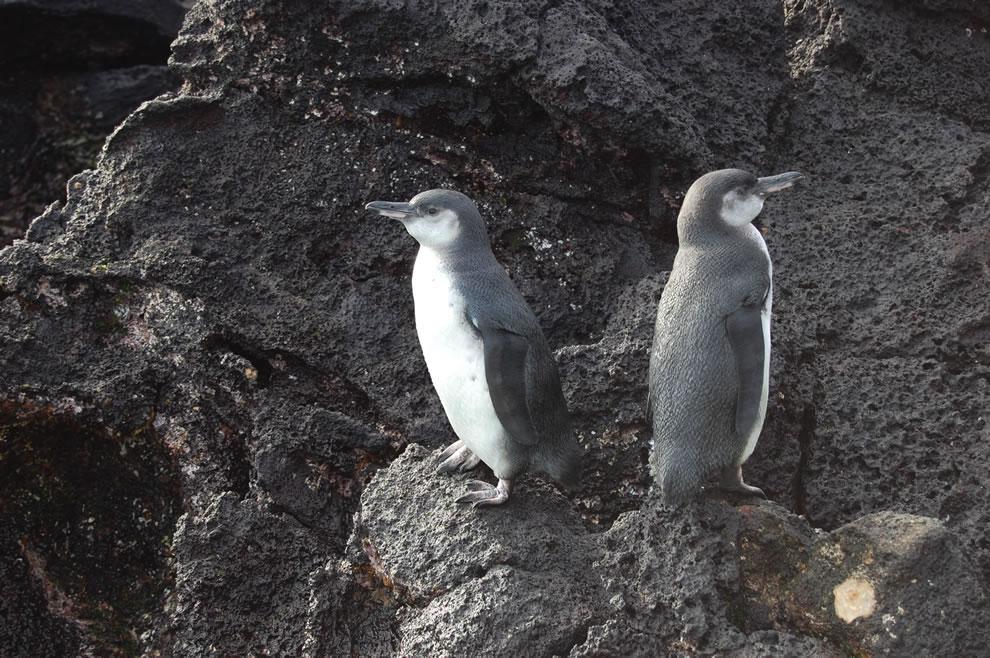 Galapagos penguins on rocks of Galapagos Islands
