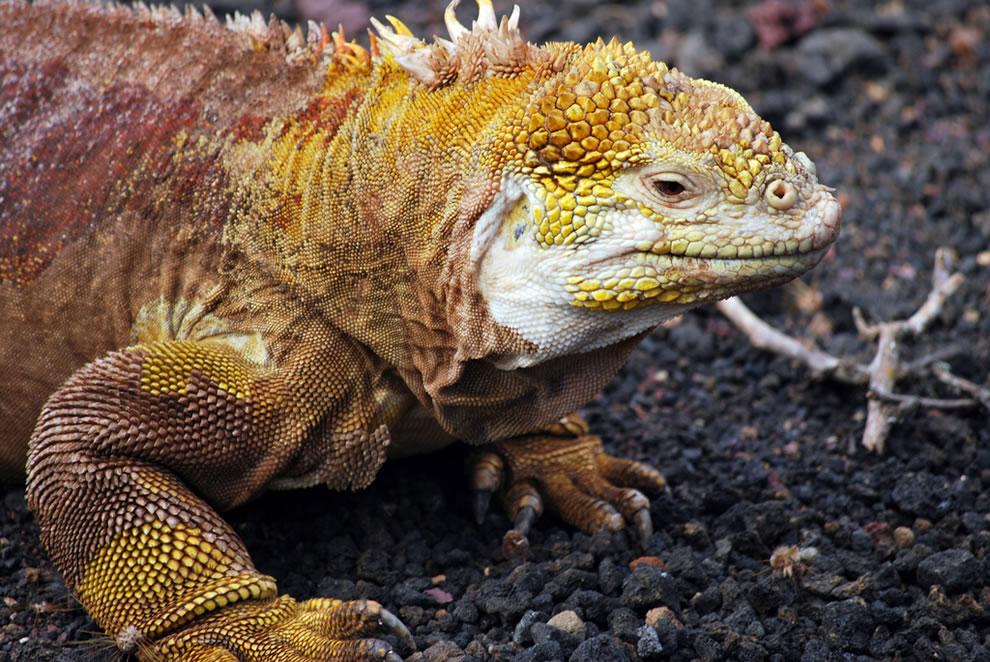 Land Iguana at the Darwin Center, Galapagos