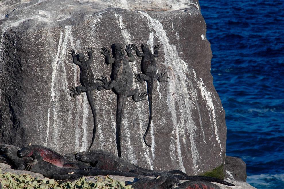 Marine Iguanas - Suarez Point - Espanola Island - Galapagos Islands