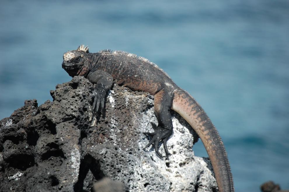 Marine iguana on rocks of Galapagos Islands
