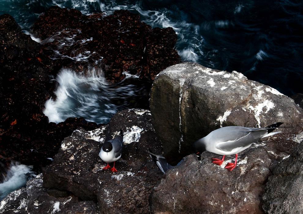 Swallow-tailed gulls - Islas Plazas - Galapagos Islands