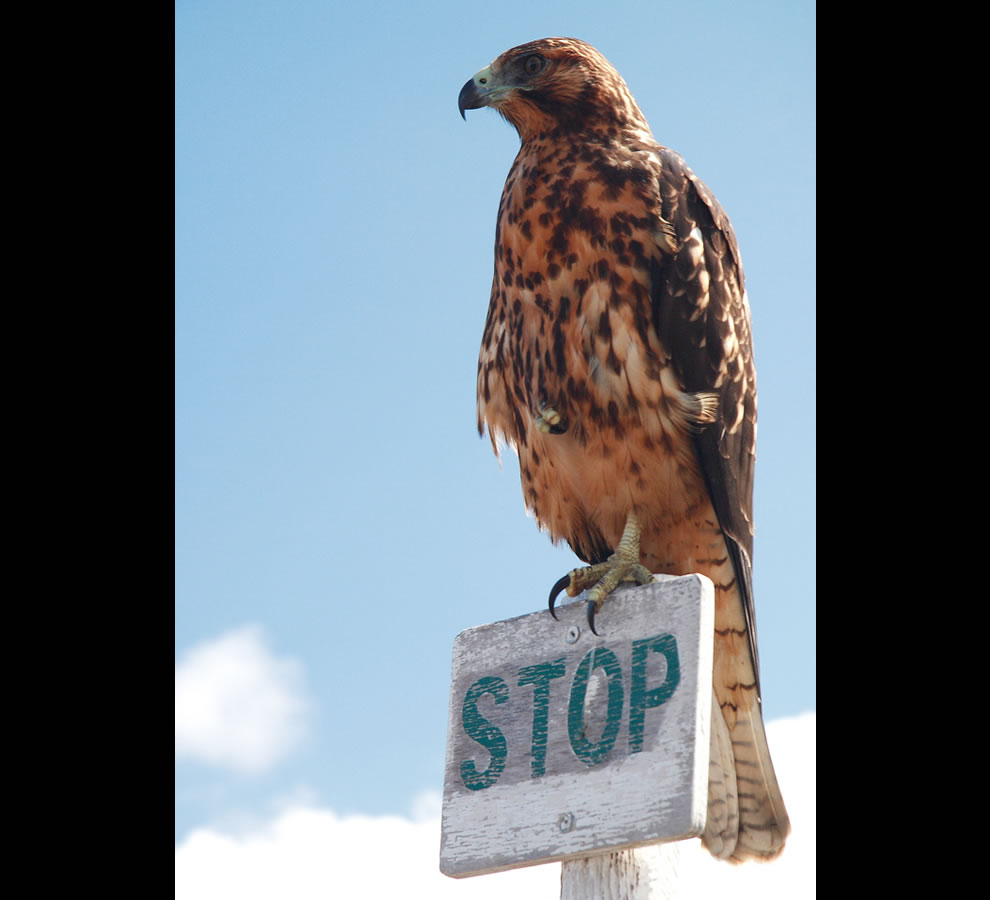 Young eagle - Urbina Bay - Isabela Island - Galapagos Islands