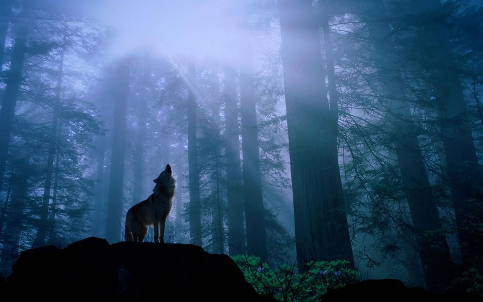 foggy forest - Howling in the night