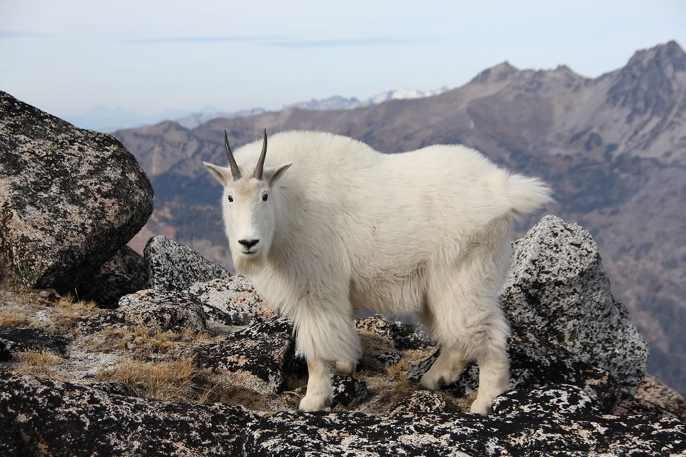Goat and Cashmere - Enchantment Lakes trip