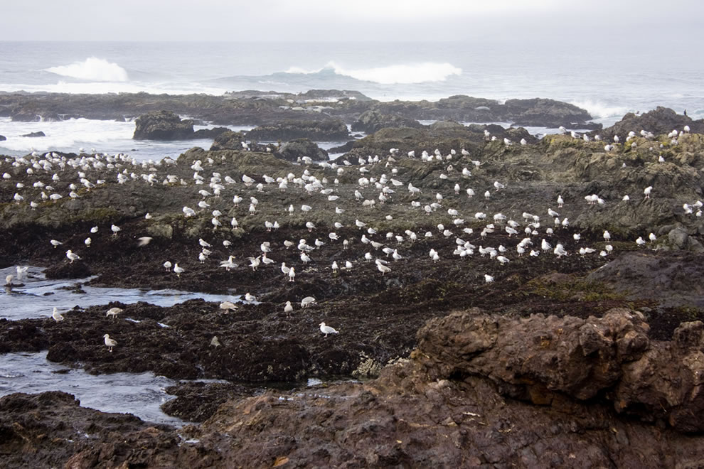 MacKerricher State Park gulls