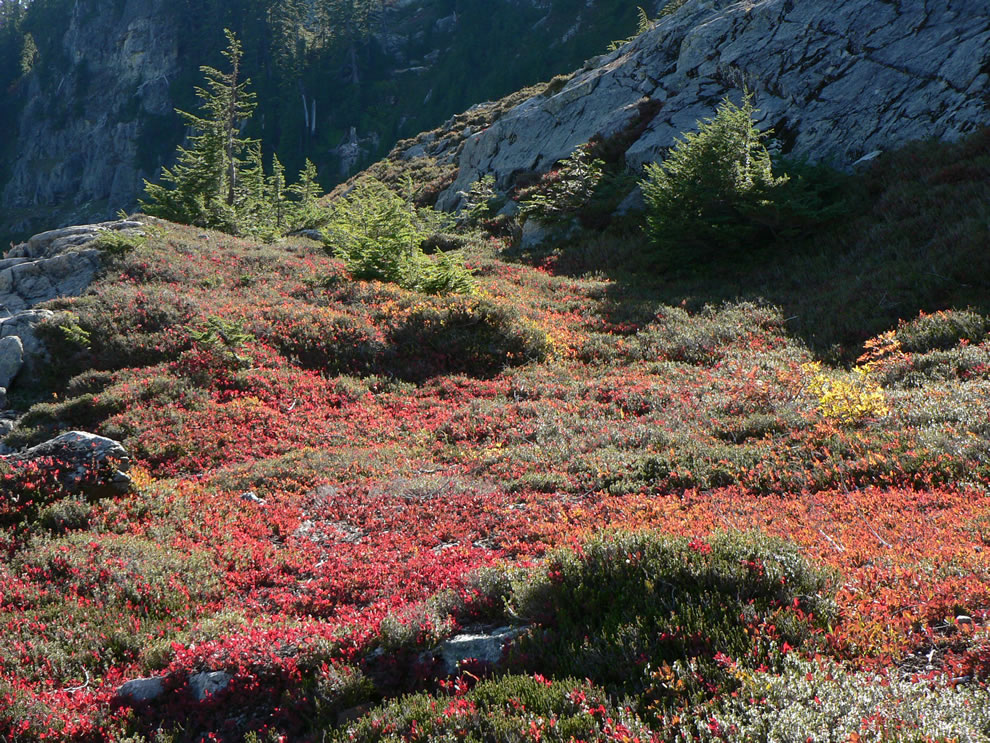 Rampart Ridge subalpine bench with Mountain Hemlock, mountain-heather, and red Huckleberry bushes