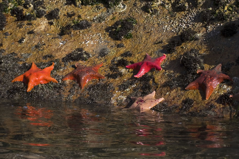 Sea Bat Stars, Morro Bay, CA - MacKerricher State Park