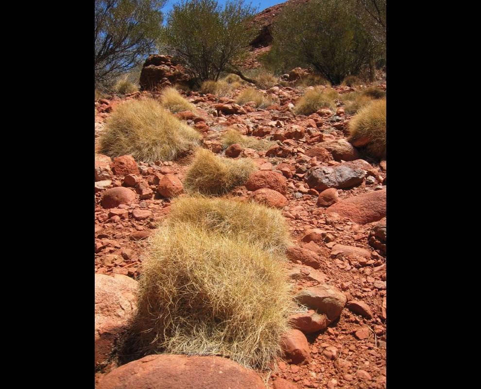 Spinifex arid grass in arid Australia