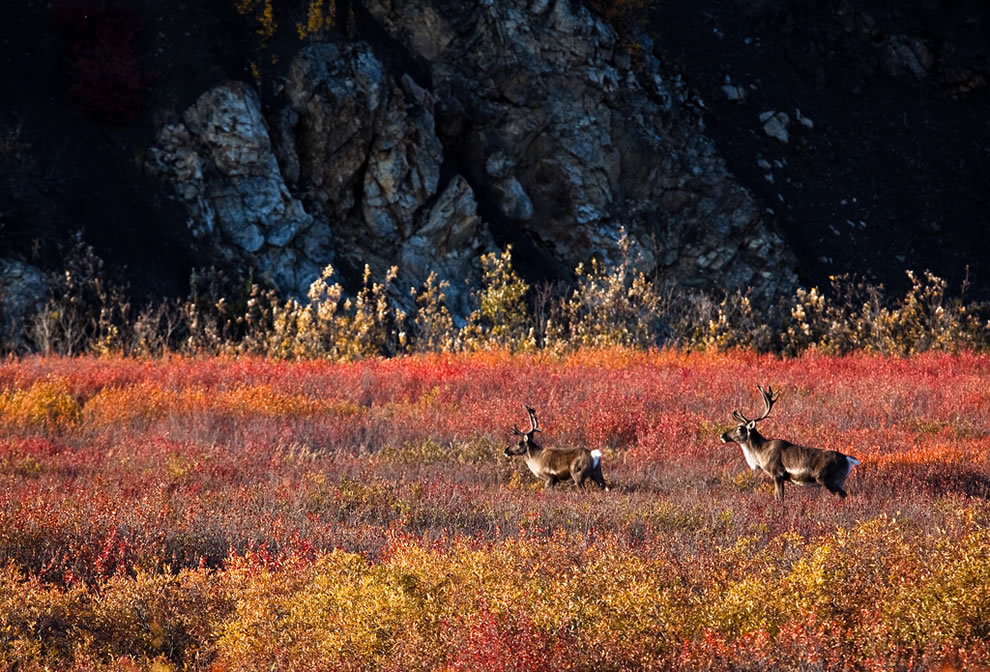 Alaska - Two bull caribou during autumn