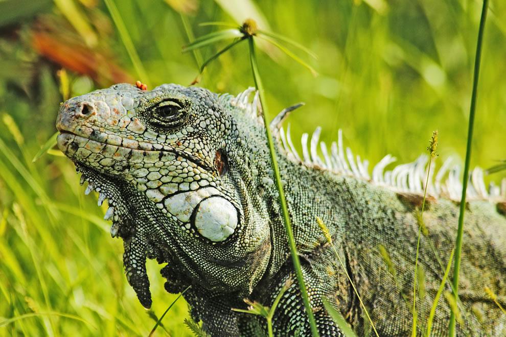 Amazonian Godzilla 'in my garden'