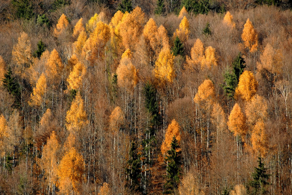 Autumnal larch forest on the mount Skarbin in the community of Ebenthal in Carinthia, Austria